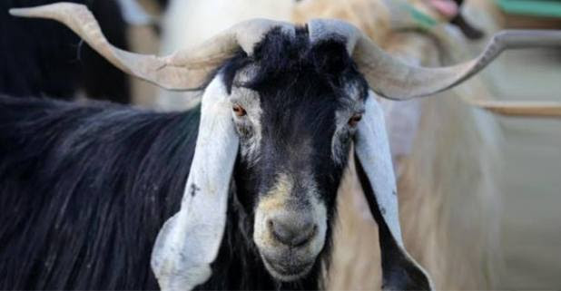 The latest unconventional happening in US: Goat get selected as the Mayor of the town