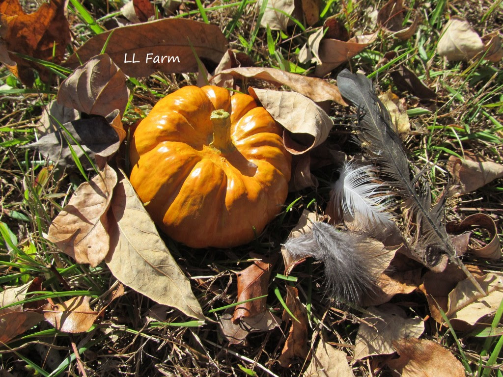 molting feathers and pumpkin in yard