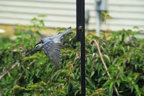 Nuthatch in flight by Isabelle