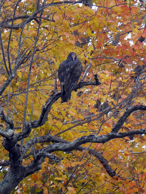 Ed Gaillard: birds &emdash; Turkey Vulture, Charlotte VT