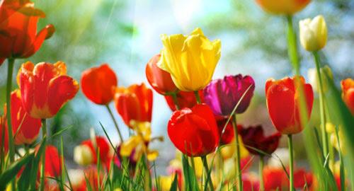 tulipani500 Viaggi floreali a caccia della primavera: dove e quando
