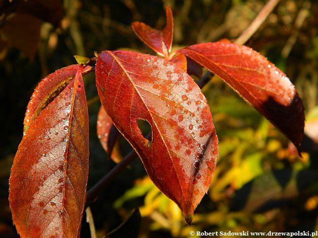 liście późnej jesieni