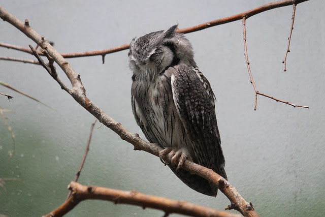 White-faced Scops Owl