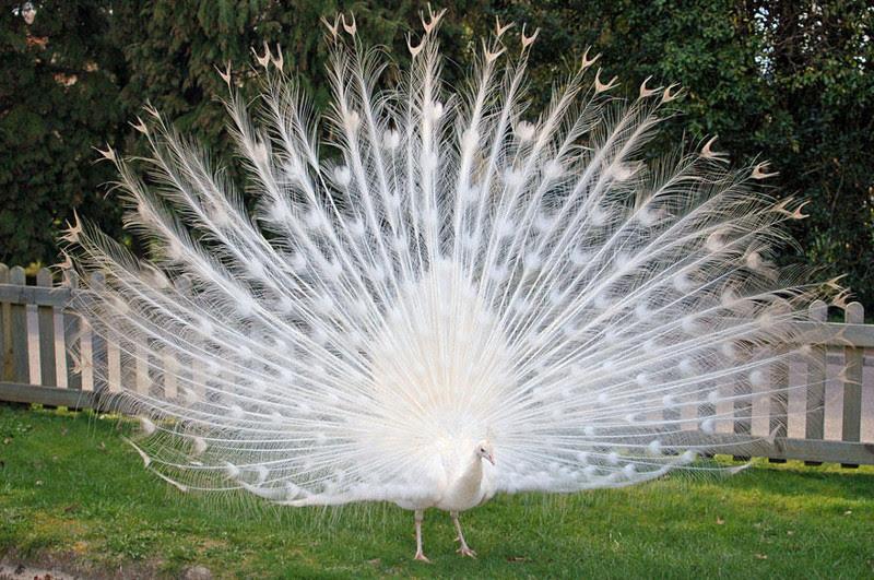 6. albino peacock.  unusual, amazing photos,