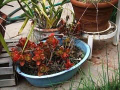 blue pot with red leaved plant