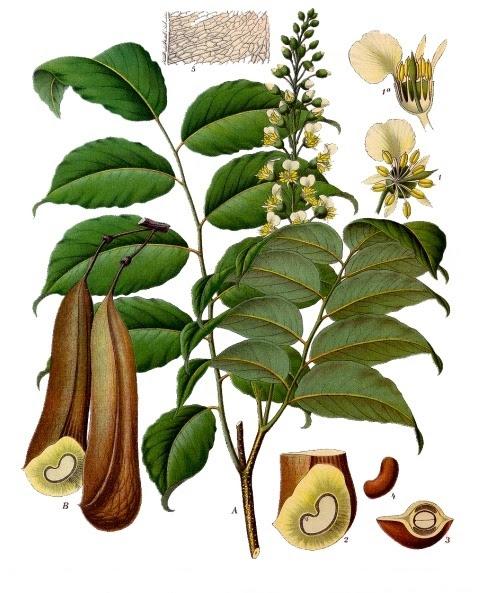 File:Myroxylon balsamum - Köhler–s Medizinal-Pflanzen-141.jpg