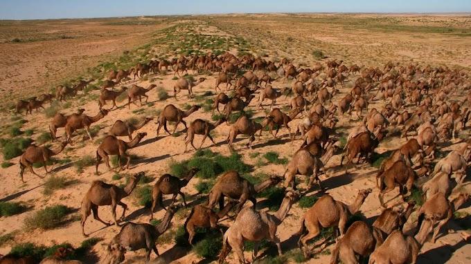Francotiradores matan desde helicópteros a 10.0000 camellos salvajes que se acercaron a pueblos en Australia