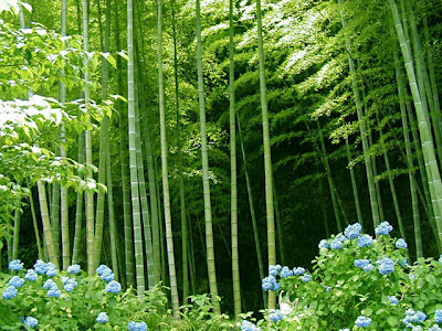 cultivar bambú 1