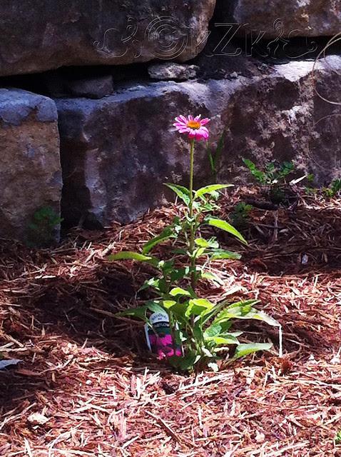 IMG_8824 Pow Wow Wild Berry Echinacea