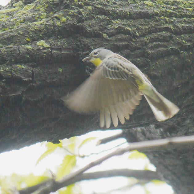 Ed Gaillard: birds &emdash; Kirtland's Warbler, Central Park