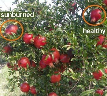 Pomegranates Napa Master Gardener Column Anr Blogs