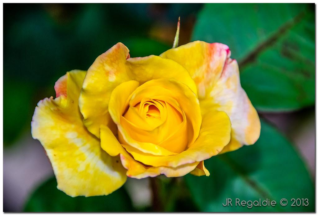 amarilla pero rosa by JR Regaldie Photo