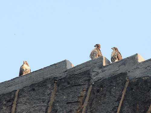 Fledgings on the Arch