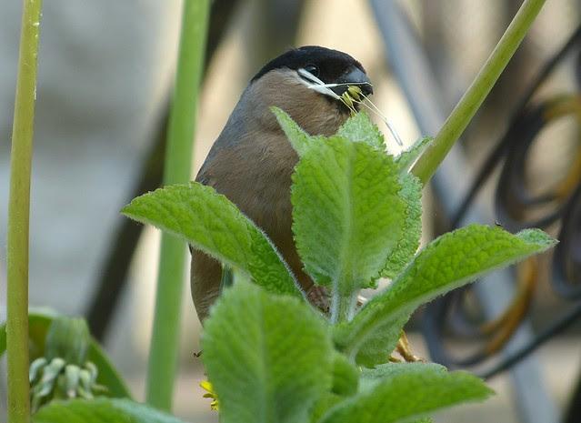 27333 - Bullfinch, Garden