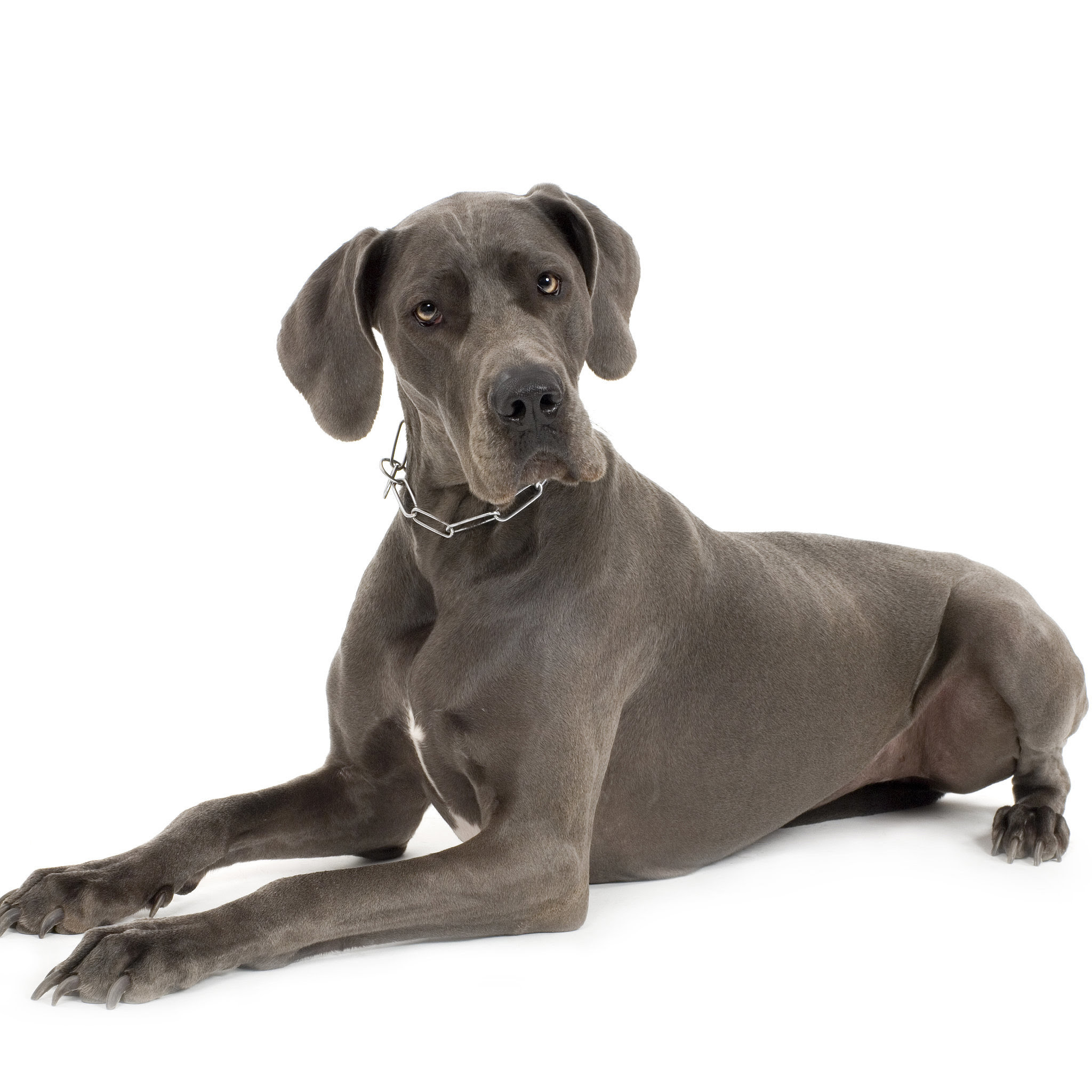 Great Dane Facts and Trivia  POPSUGAR Pets