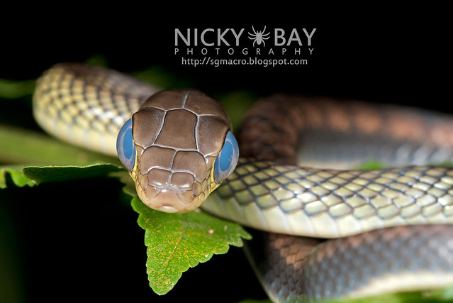 White bellied rat snake (Ptyas fusca) - DSC_2220