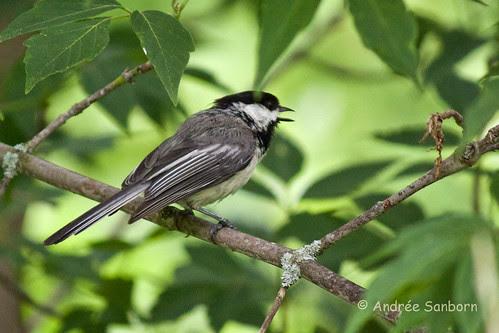 Black-capped Chickadee (Poecile atricapillus)-1.jpg