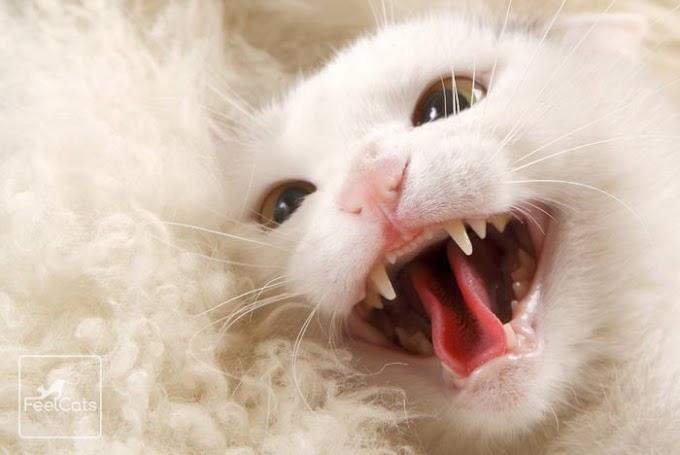 ¿Cuántos dientes tiene un gato? ¿Cambian? ¿Se les caen?