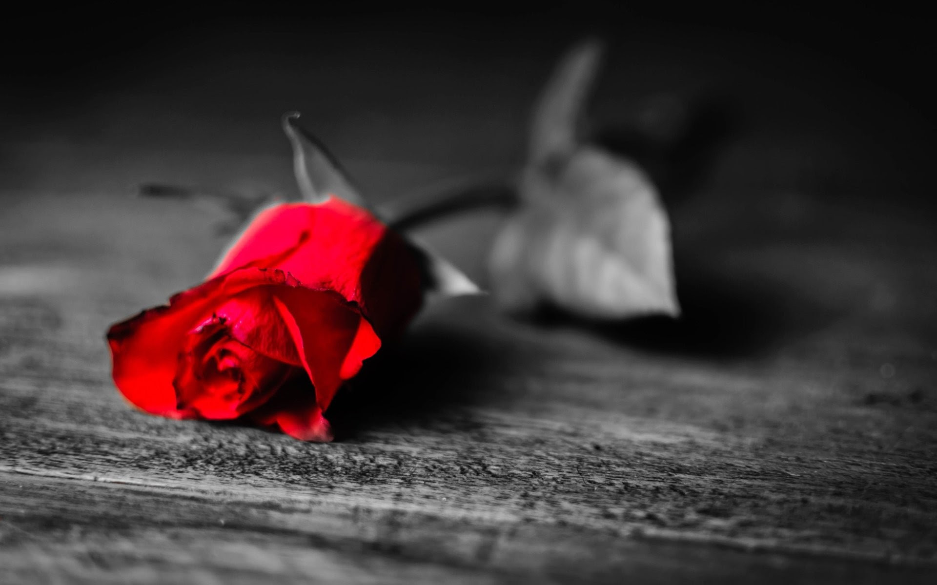 Red Rose With Black Background 42 Images