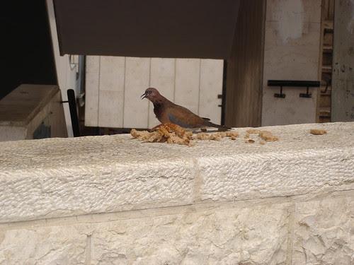 Palm dove eating brunch