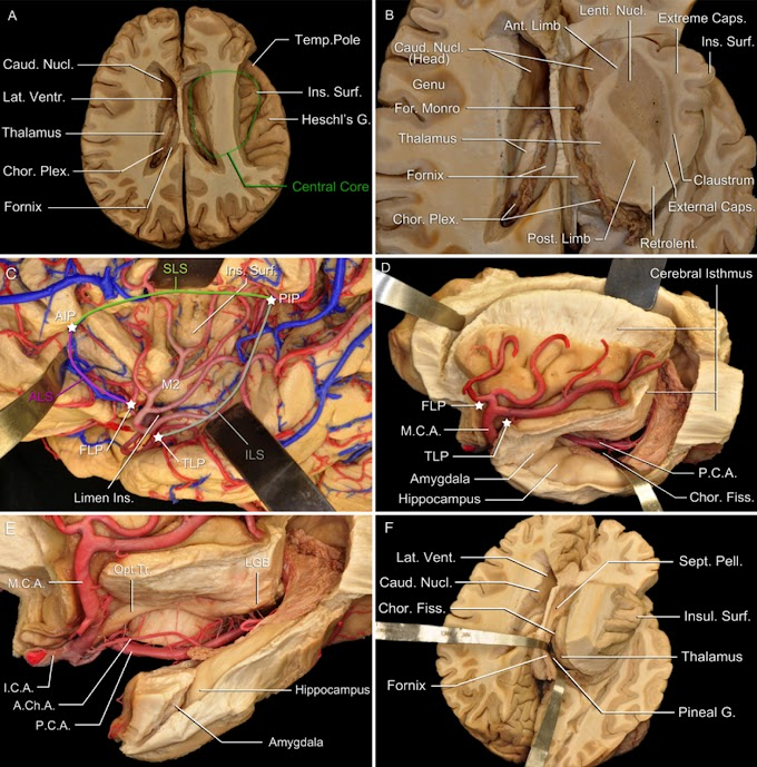 Brain's central core anatomy at a micro surgical level
