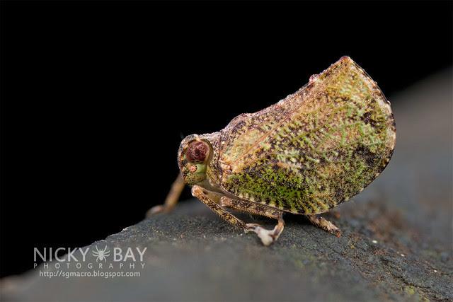 Issid Planthopper? (Issidae) - DSC_8641