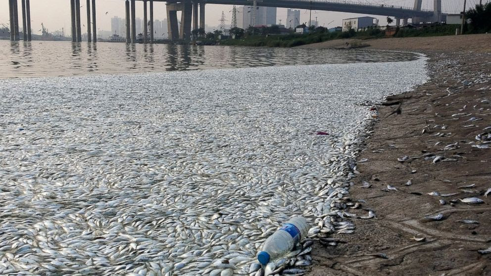 PHOTO: Large quantities of dead fish are seen on a riverside near the site of the massive blasts in Binhai New Area in Tianjin, China, Aug. 20, 2015.