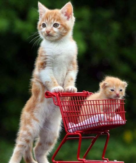 Kitten in shopping trolley