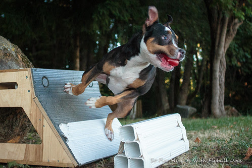 Flyball in the park-6002