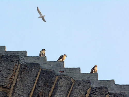 Three Fledges on the Arch