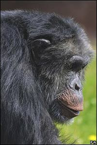 El chimpancé Santino (PA)