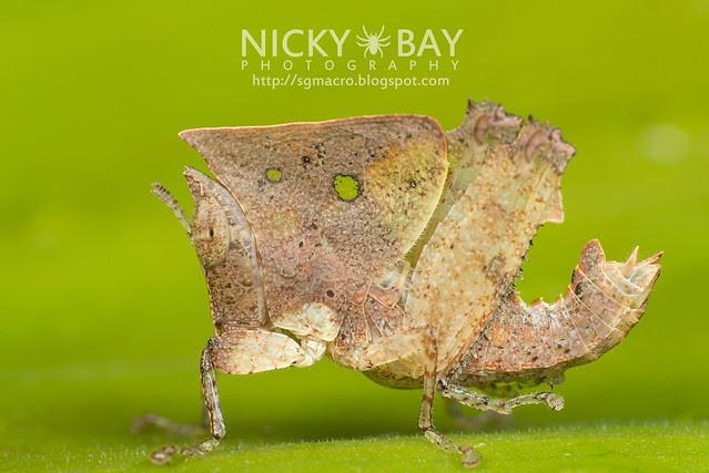 Dead Leaf Grasshopper (Caelifera) - DSC_8989
