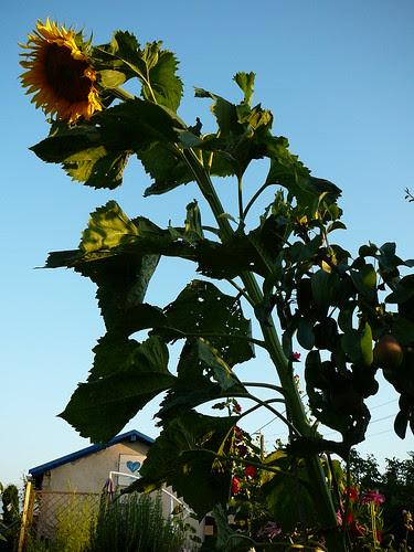 Riesensonnenblume (02)