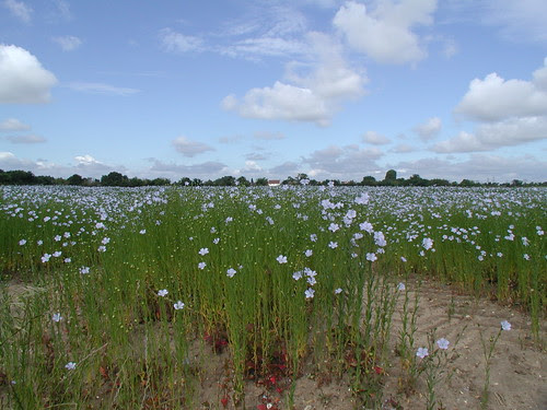 Flax at Snape