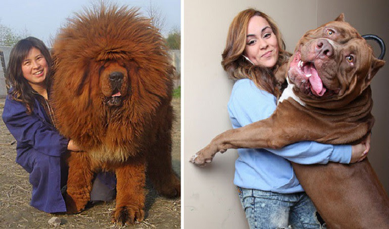 50 dogs who do not realize how they are huge size of the dog
