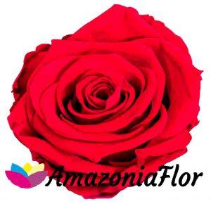 Significado De Las Rosas Según Su Color Rosas Rojas Blog Amazoniaflor
