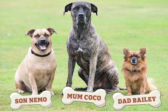I'm the daddy... honest! How Bailey the tiny chihuahua fathered pup with Coco the massive