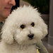 THE MASCOT: Senator Kent Conrad's fluffy bichon frisé, Dakota, has been a fixture in the halls of the upper chamber.