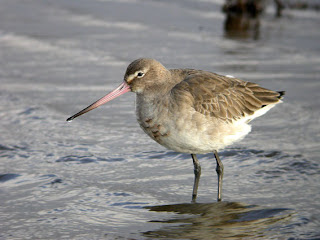 Black-tailed Godwit. Photo by Nick Franklin