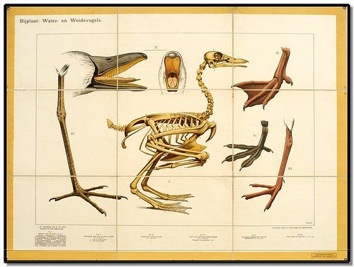 Duck - Zoological Wallcharts 1900-1950