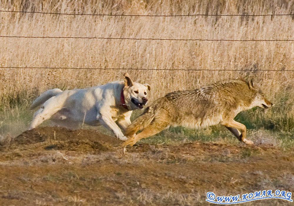 dog coyote