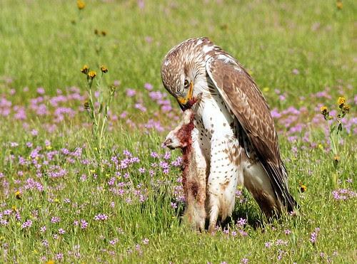 Ferruginous Hawk feasting