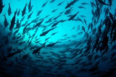 É preciso salvar o Atum de Barbatana Azul