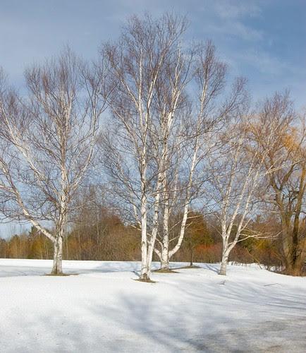 Orillia - Birch In Winter