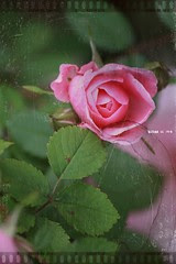 Roses: antique 6