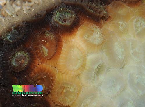 Hard coral bleaching