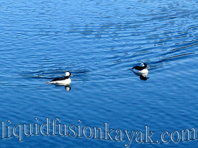 Bufflehead drakes - a winter migratory duck.