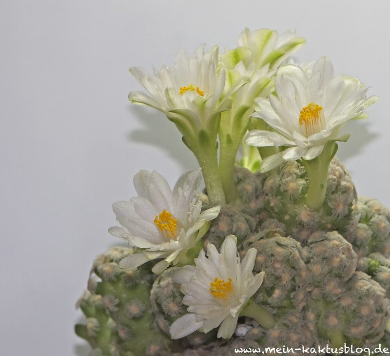 Mammillaria theresae fl. alba