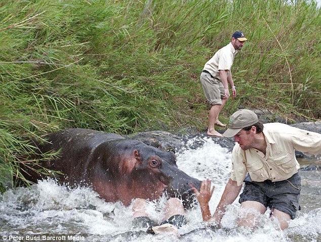 Diserang Kuda Nil..!!