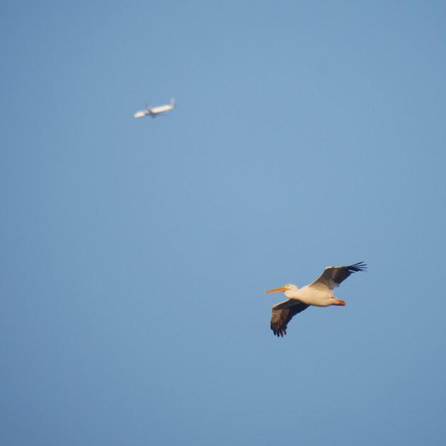 Ed Gaillard: birds &emdash; American White Pelican, Jamaica Bay